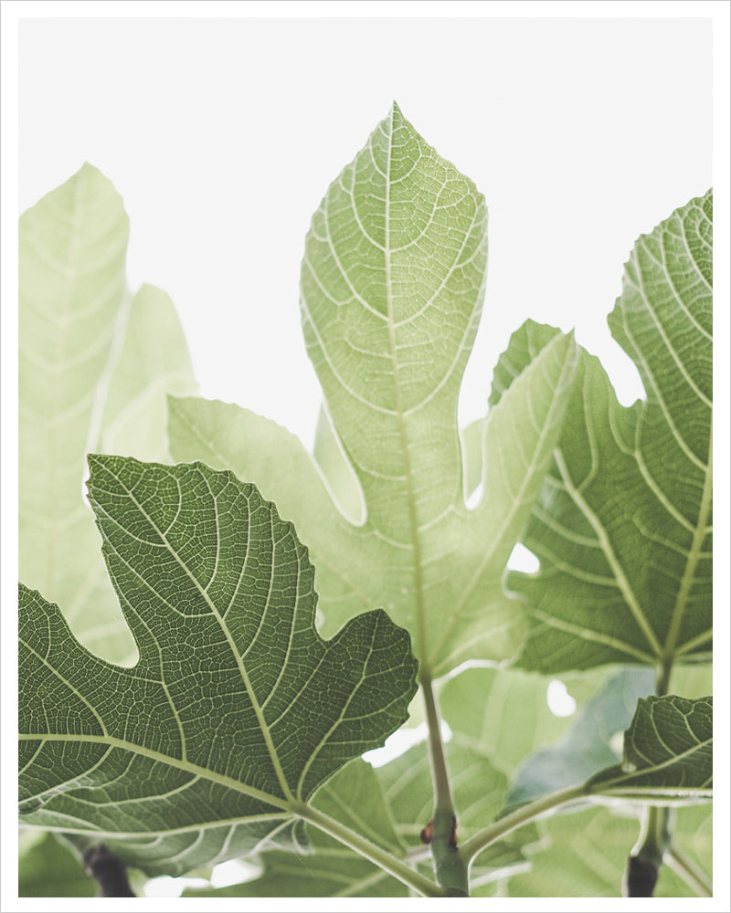 Luminous Fig Leaves