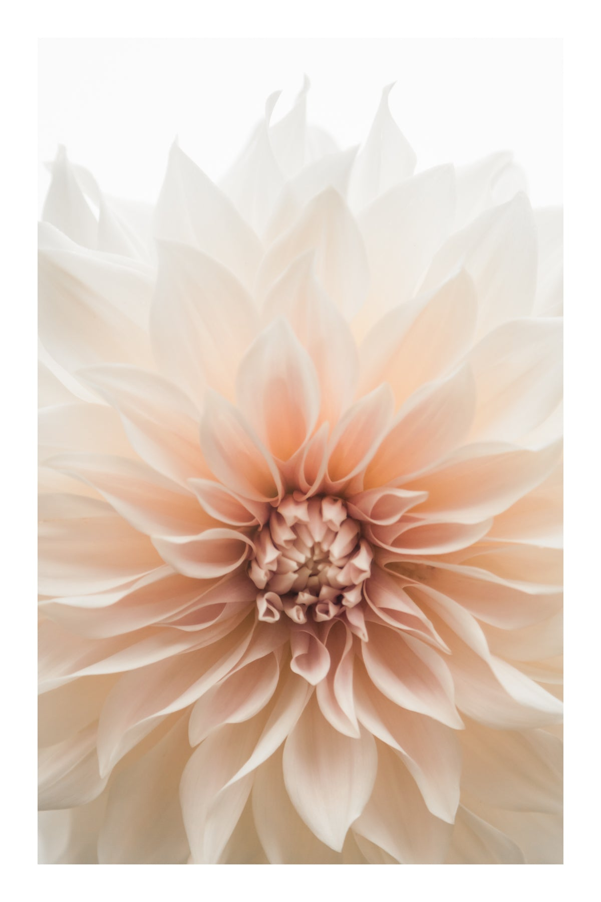 Card: Cafe au Lait Dahlia (set of 5)