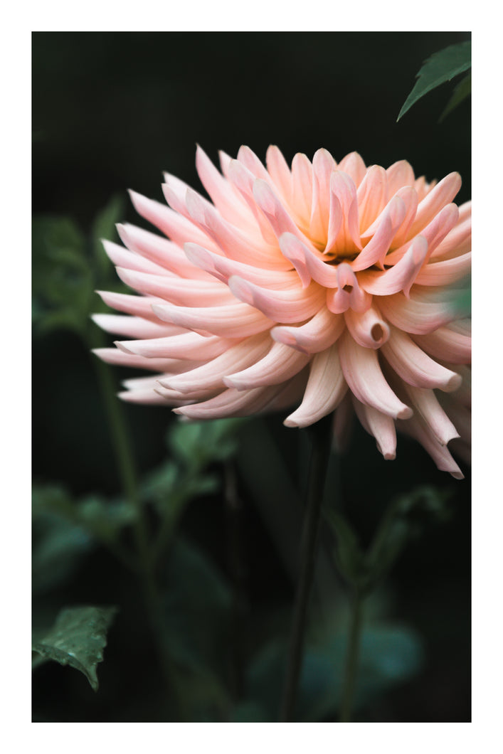Card: Pink Dahlia (set of 5)