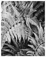 Load image into Gallery viewer, Wood Fern