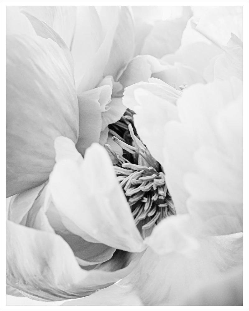 Heart of the Peony