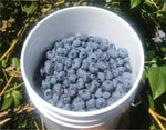 Blueberries - We Pick