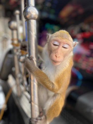 The Monkey on his TukTuk