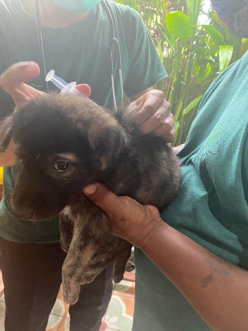 Rescue Pup getting Vaccinated in Bali