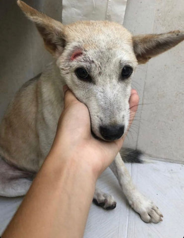 Rescued Bali Pup - Hope For Bali Dogs