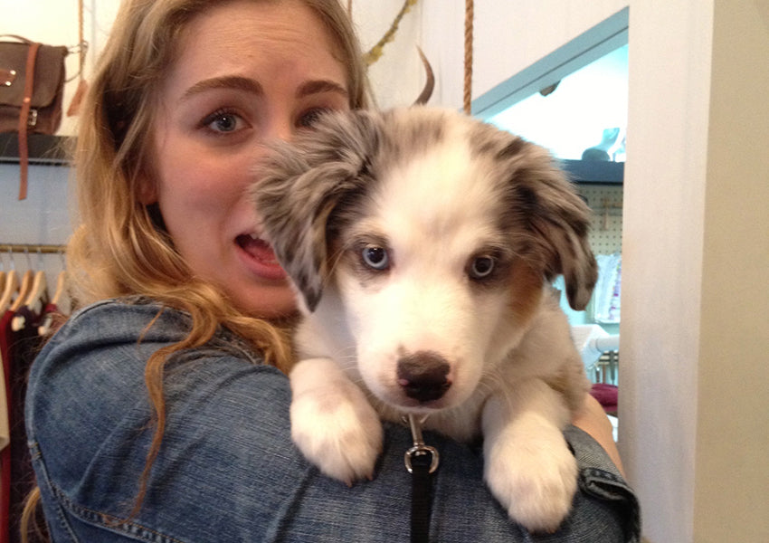 Kira the Mini Aussie Shepherd at betsy & iya