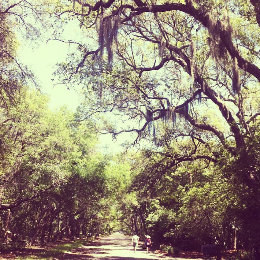 Miles and miles of trees with Spanish Moss from South Carolina.