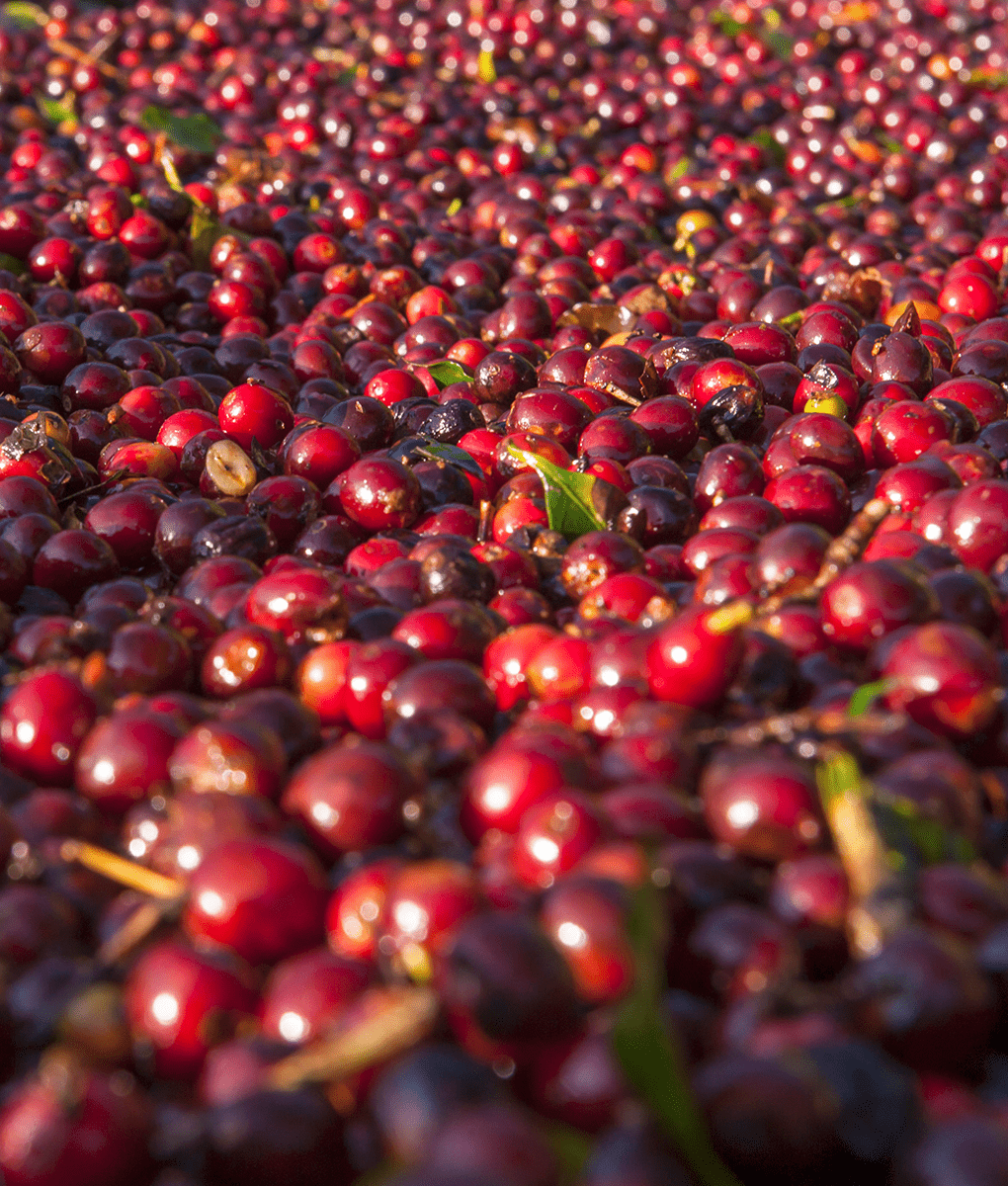 Coffee Cherry Washing, Union Coffee