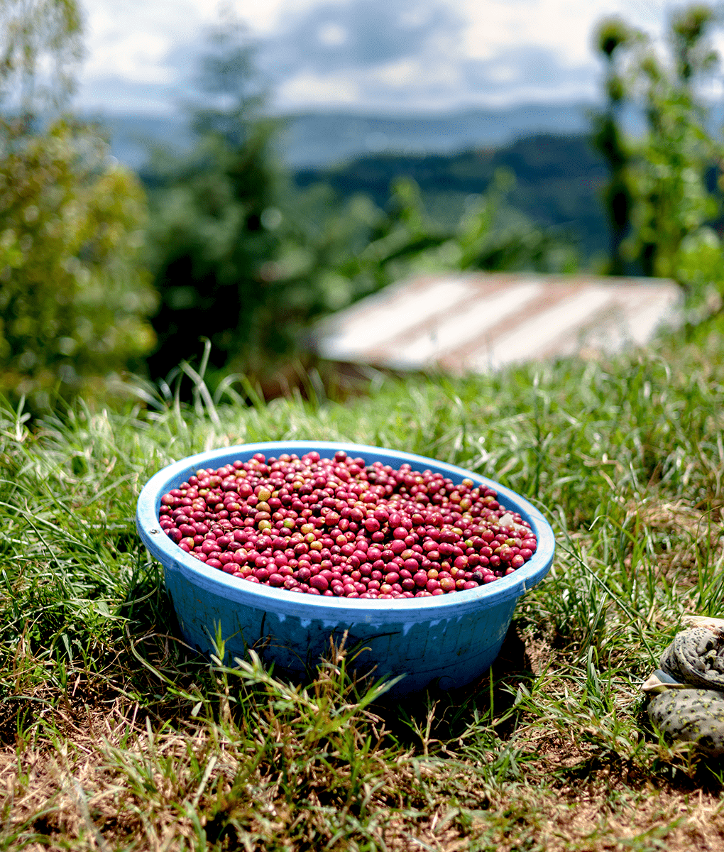 Coffee Cherry Harvesting, Union Coffee