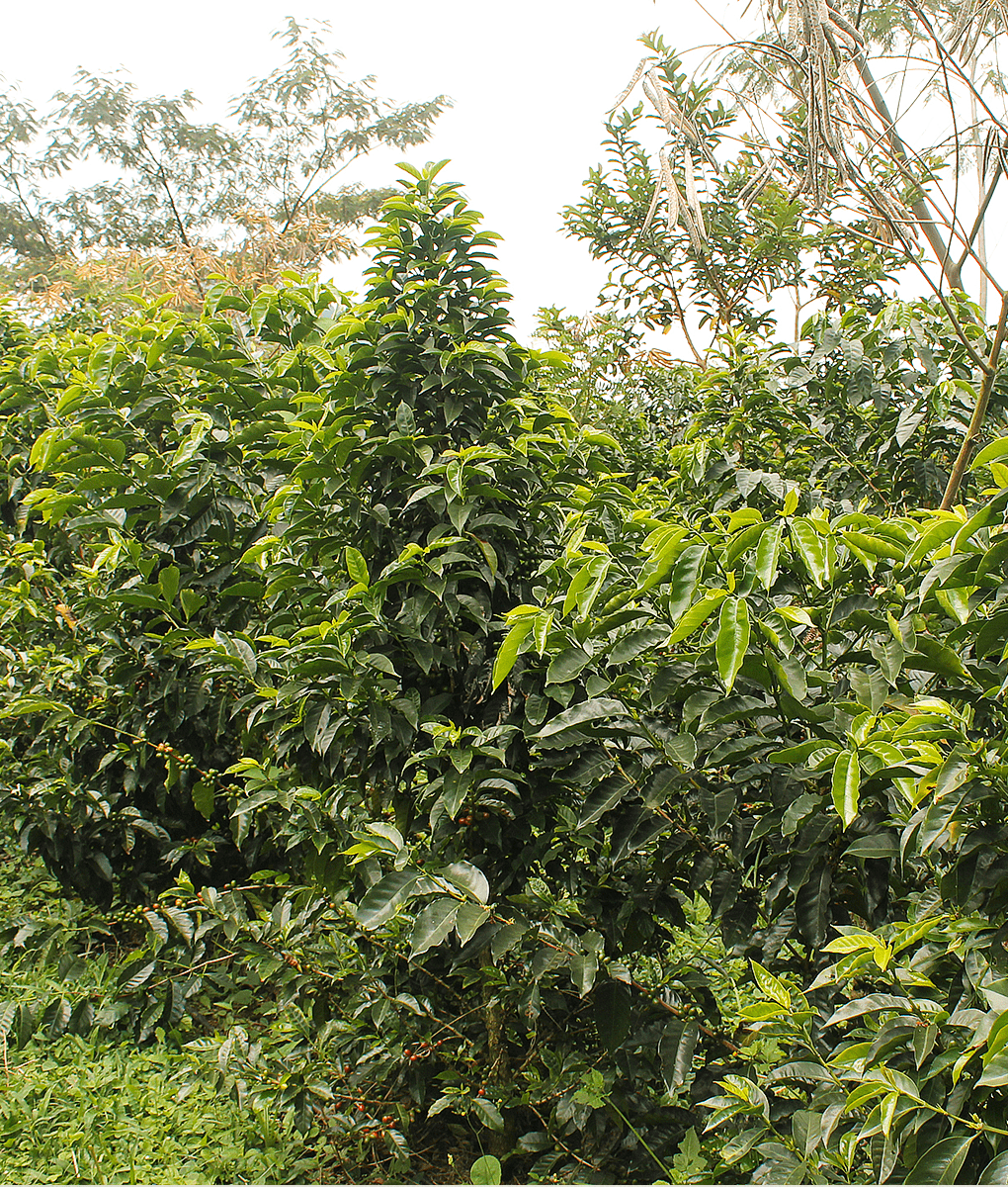 Finca Inmaculada Laurina, Naturally Low-Caffeine Colombia