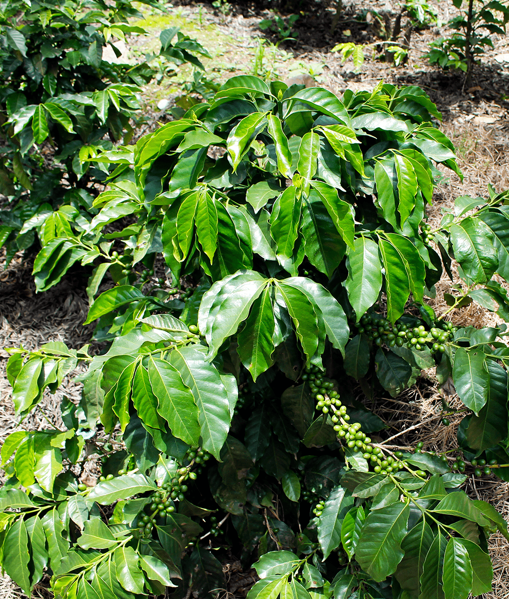 Coffee Plant, Guatemala, Union Coffee