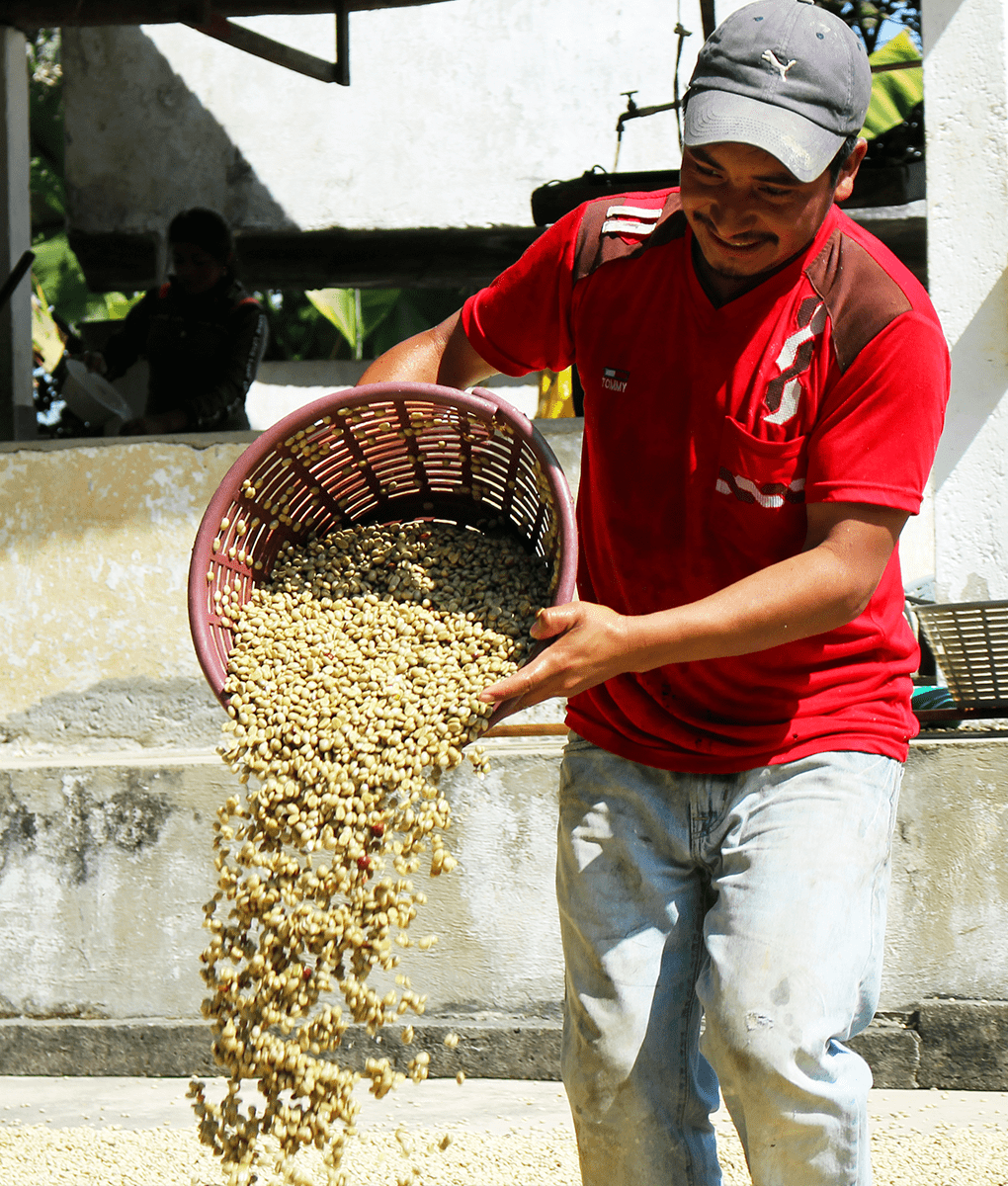 Guatemala Coffee Processing, Union Coffee