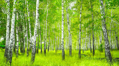 The Magical Properties of Birch Oil