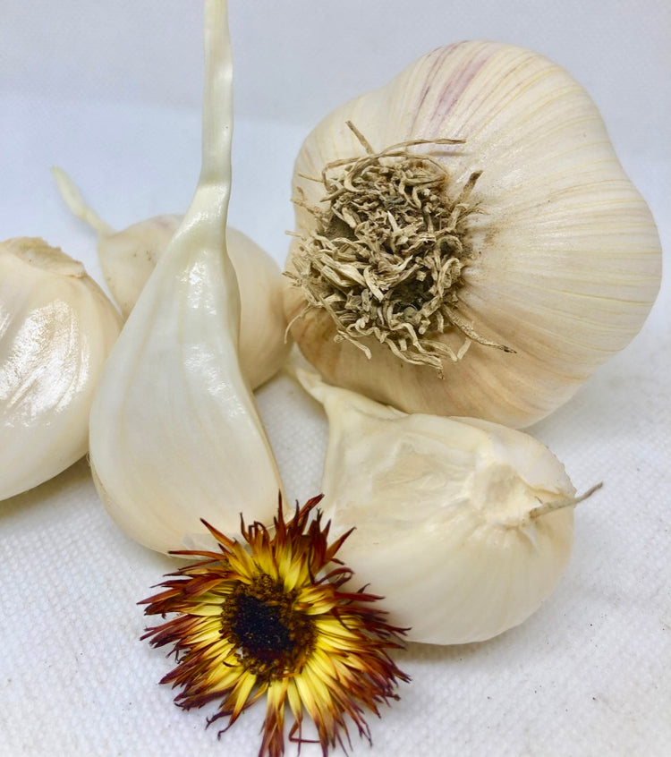 German Hardy Porcelain Garlic