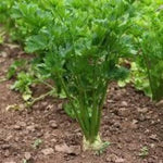 Are you looking for a replacement for celery? Lovage fast and easy to plant. Gardening Lovage plants is low maintenance. Flavor sweeter and better than celery. Garden organic Lovage Plants. Buy in bulk and make a show case of Lovage Plants.