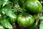 Green Tomato Plant . Where to buy organic mature green tomato plants. These green tomato plant easy to grow . Great flavor for fried tomato.  Plant many and enjoy the harvest.