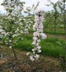 Plant and grow apple tree varieties red or yellow. Buy a couple or buy bulk and landscape or garden with apple trees. Grow organic apple trees. Best Apple trees to buy online. Mature ready to bloom and produce apples to harvest. Buy 1 year Apple trees for sale are a great deal. Plant Apple trees and image harvesting apples from your own garden is amazing reward. Low maintenance care free apple trees to plant early spring or late fall.