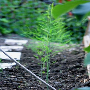 Buy Jersey Supreme a fast and easy way to introduce Asparagus to your garden.