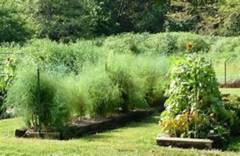Jersey Giant easy to plant fast to grow gardening delight. Buy many roots harvest this season.
