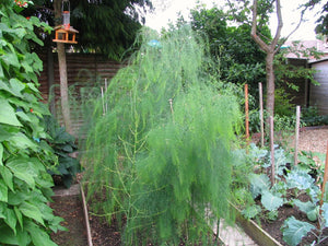 Jersey Supreme Asparagus Plants Bare Roots Crowns 2 Year  Best Buy Online  Where to buy the best  Jersey Supreme 2 Year Asparagus plants - roots - crowns near me? Jersey Supreme are the first to appear early Spring. The 2 years old Jersey Supreme are easy to plant and fast to grow -- a true gardening delight.  Buy many and enjoy years a great harvest.