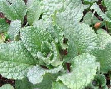 Borage an easy to plant gardening favorite, Flowers leaves and stem are edible and have cucumber like awesome flavor. Buy and plant n your garden several Borage.