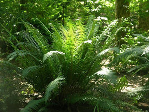 Christmas Fern plants . Add life to those sunless spots around your garden. Plant ferns and just let them grow. Green all year. Care free delight.