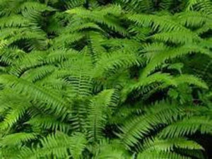 Christmas fernsare a  gardening delight. These ferns bright many benefits, greenery, shade, fill in bare spots, happiness and cheer.