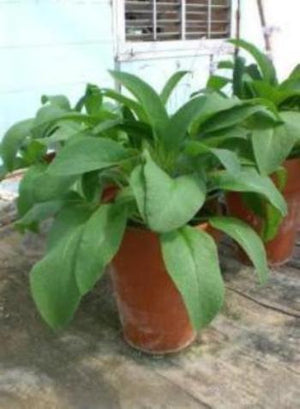 Comfrey plant  makes a show case container plant ideal for your patio.Easy to plant. No maintenance.