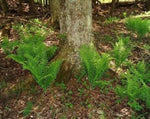 All Fern Plants Fiddlehead Fern- Christmas Fern *