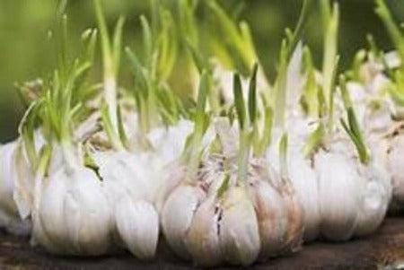 Why plant Jumbo Garlic plants and cloves for sale. Buy the best organic farm raised from the Asparagus Farm. Garlic keeps the bugs out of your garden. Plant Garlic in the early Spring and harvest mid fall..  Take advantage of the Spring Sale on Garlic and save. Where to buy Garlic near me . Buy the best and plant plenty garlic.