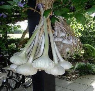 Elephant Garlic Plants easy to grow in your garden or container. For best growing results give extra compost.