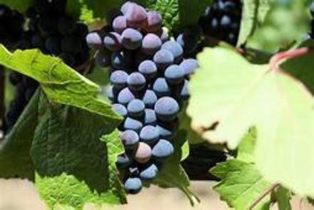Concord Grapes are a great investment to your garden. Plant Concord grapes in a container or directly to your garden. Grapes last about 1-20 years each season providing great harvests.