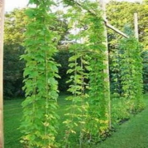 Image Hops growing in your garden. Fast easy no work. And the benifts from buying Hops. Soothing relaxing, sleep. All from gardening hops plants in your garden or container.