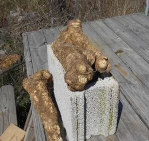 Where to buy the best Horseradish root crown legs . Buy online from the Asparagus Farm. Why buy organic Horseradish Legs? These legs are mature 3 - 4 years old and have been producing  plentiful harvest each season. Buy many and buy online from the Asparagus Farm. Organic mature natural no hybrid. A grand addition to any garden.