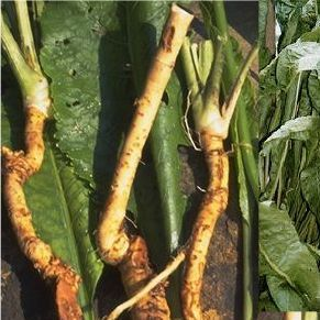 Horseradishroots fast and easy to grow. A low maintenance plant for your garden or container.
