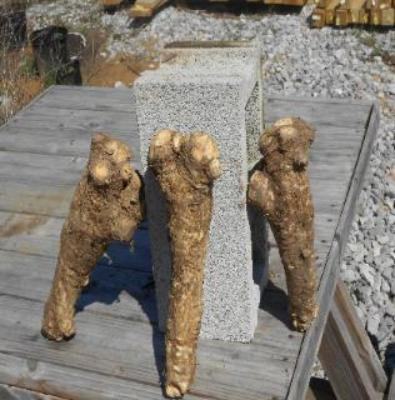 Buy Horseradish and enjoy a maintenance free garden. Just plant buy and grow Horseradish roots.