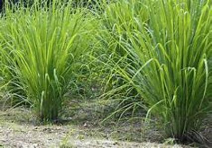 Lemon Grass plants and roots easy gardening. Growing Lemon Grass fast and easy. Garden in container or directly to your garden.