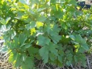 Garden Lovage the benefits of growing Lovage are many. Fast easy no maintenance, full of flavor and plenty of nutrients. Buy Lovage. Do not go another gardening season without Lovage growing in your garden.