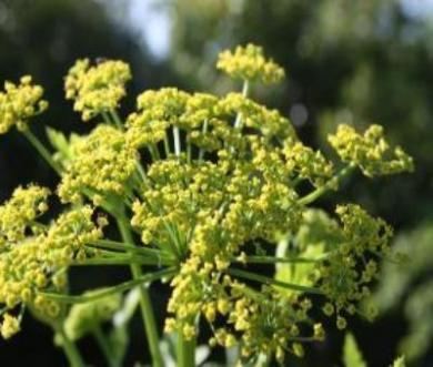 Plant Lovage. Garden fast to plant easy to grow Lovage.