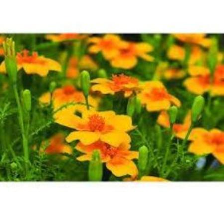 Edible Marigolds plants  easy to grow. Fast to garden. No care gardening delight. Buy in bulk and show case these fast growing forever blooming gardening edible  delights. Garden your way grown in the USA.