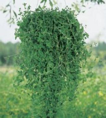 Pennyroyal easyand fast to plants. Great fresh smell. Plant in your garden or hang in a basket. Keeps bugs away.