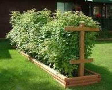 Raspberry plants stand up right no vine plants here. Growing Raspberry plant bushes.