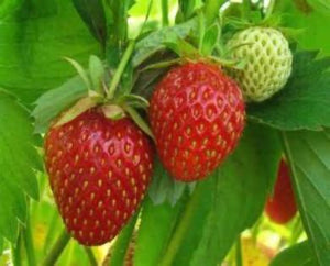 Healthy plentiful Strawberry harvests come from plants being fed . Use Strawberry Compost Tea. We have taken the workout of making compost you just add water.