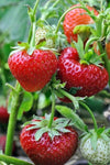 Spring  Sale Everbearing Strawberry Plants For Sale. Buy the best . Where To Buy Strawberry plants near me. Medium size berries harvest from June till mid Fall.