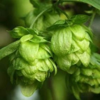 Buy Hops roots plants near me. Hops are a vine that like to climb. Tey are a gorgeous plant with and unusual color green. The cones are round and plentiful making your garden a show case, Enjoy the benefits of growing Hops buy many they last for years.Organic hops plant. Fast and easy to garden. Easy to grow anywhere.