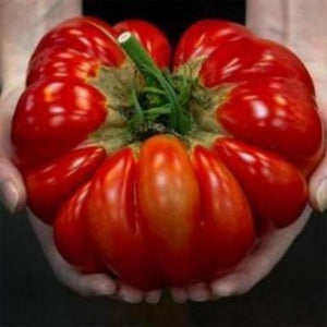 Growing gardening World's Largest Tomato. What fun and so delicious fast and easy to grow.