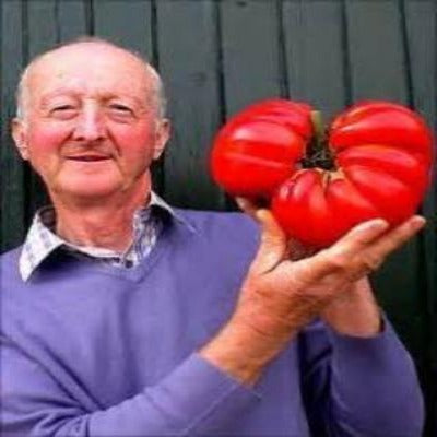 World's largest tomato. Garden the worlds largest. Growing  organic largest producing tomato.
