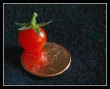 Gardening and growing Worlds Smallest Tomato plant organic. Easy to garden grows fast. Produces many organic tomatoes.