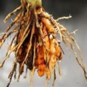 Growing gardening grow turmeric and capture the benefits.