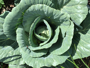 Simple Cabbage